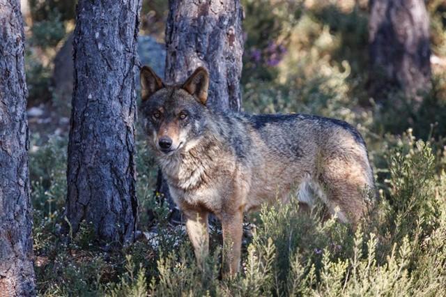 censos lobo