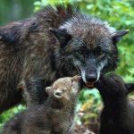 Las autonomías dicen entre tribunales adiós al 'business' de matar lobos