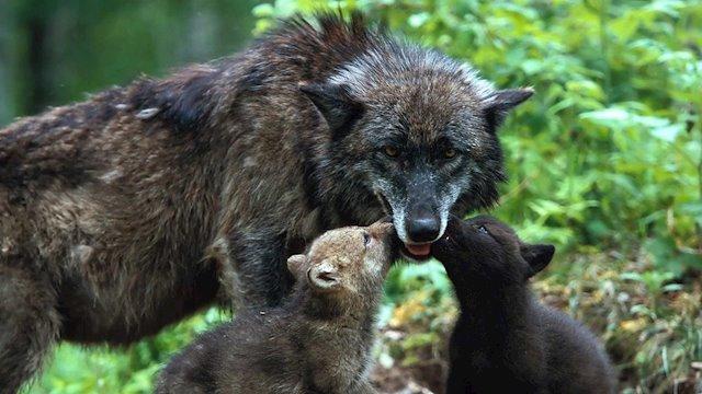 Castilla y León se ampara en un estudio de Minnesota de 1995 para matar a 339 lobos