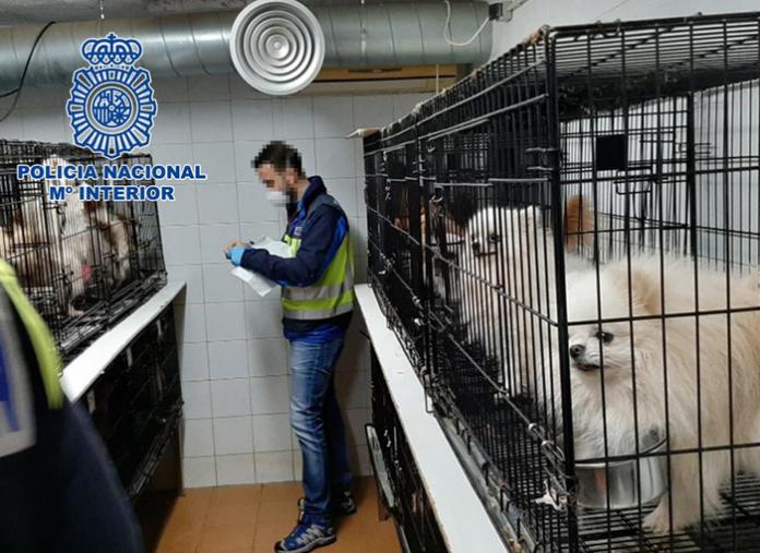 La Policía Nacional desmantela dos criaderos ilegales de chihuahuas en Madrid