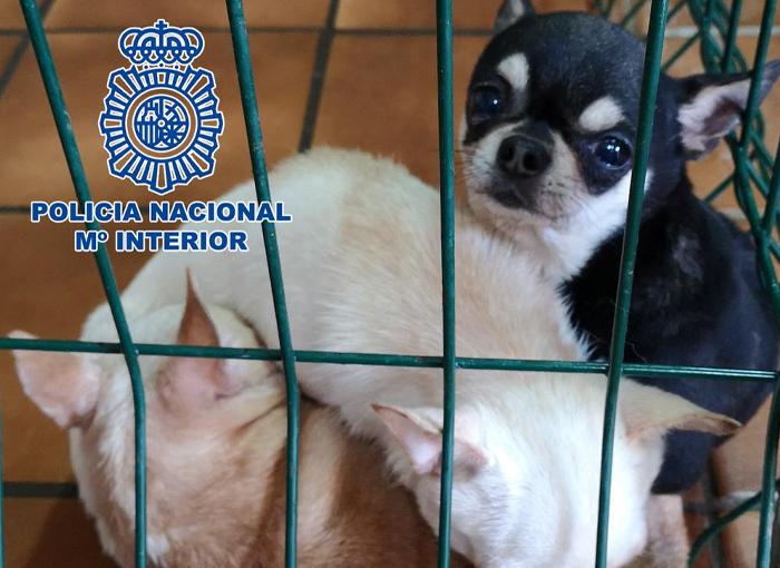 Desmantelados dos criaderos ilegales de chihuahuas en Madrid