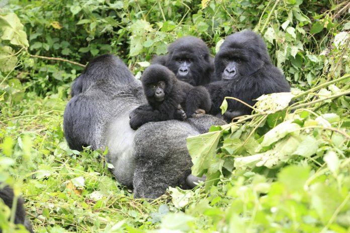Ribera gorilas