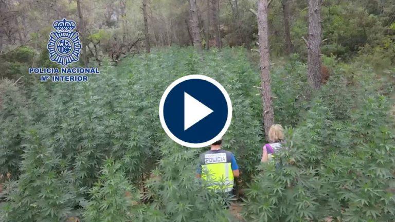 Policía Nacional desmantela un bosque de marihuana