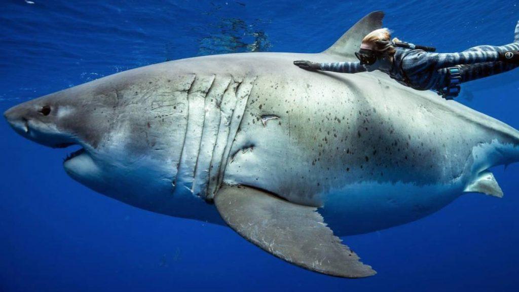 embarazon tiburon
