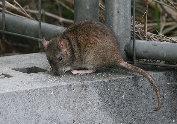 """ADEPAP: """"Ratas, mosquitos y cucarachas, las plagas de este verano"""""""