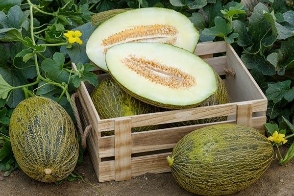melon temporada