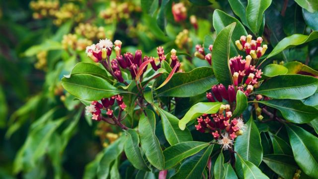 árbol-clavo-de-olor