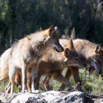 Castilla y León, obligada a devolver más de 30.000€ por vender la piel del lobo antes de cazarlo